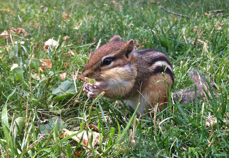 Chipmunk eating in the grass